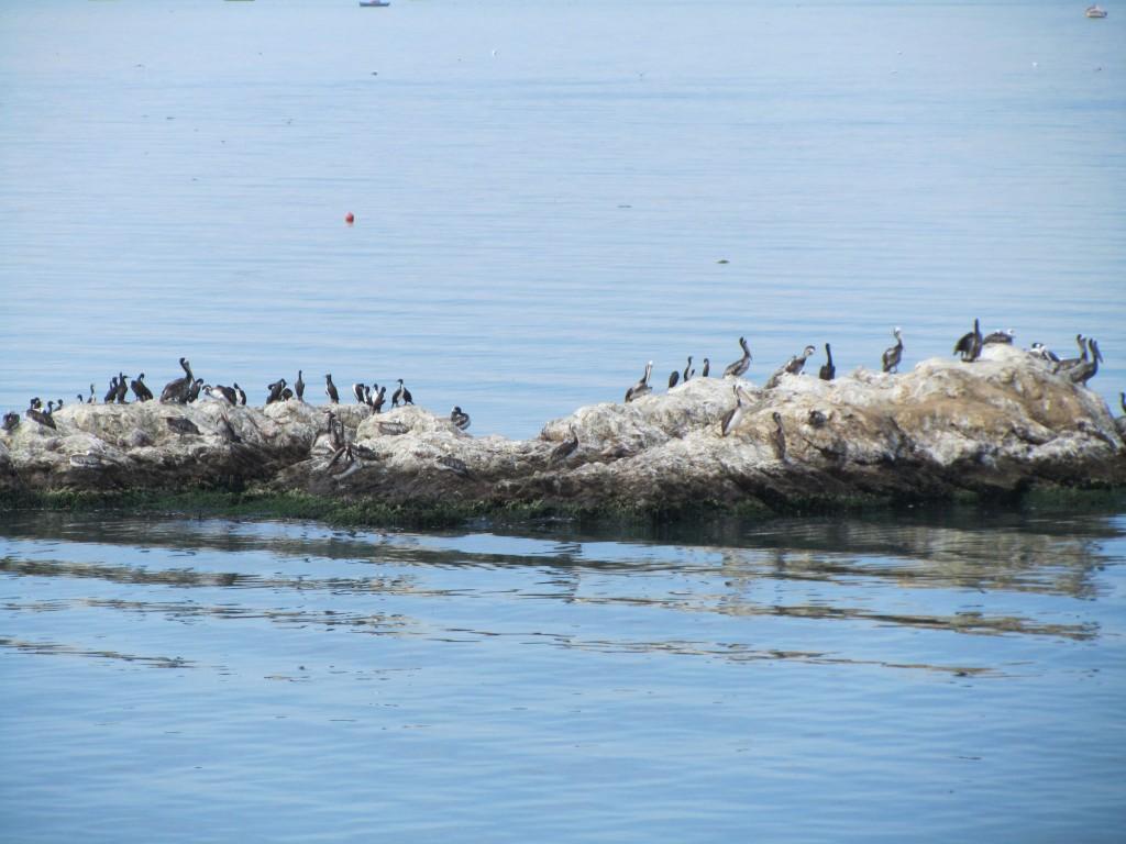 Dung birds Aves guaneras Paracas